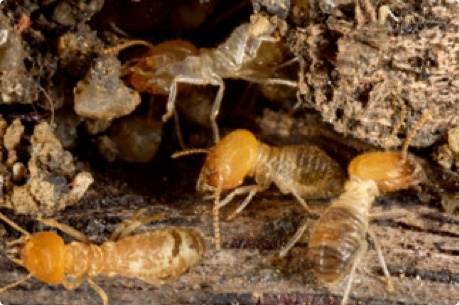 termite-removal-perth.jpg