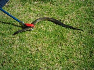 Tiger Snake being caught by our snake catcher