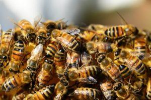Bees & Wasps Infestation Perth