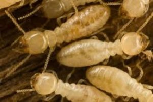 termite control and treatment