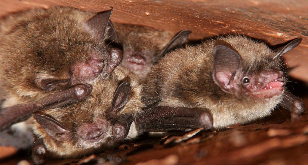 bat pest control