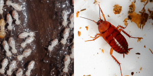 are termite fancy cockroaches