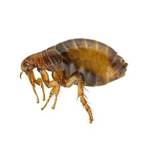 flea treatment and control