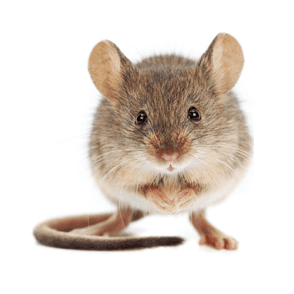mice treatment and removal