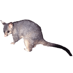 possum removal and treatment