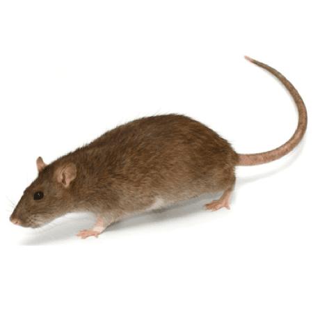 rat control and treatment