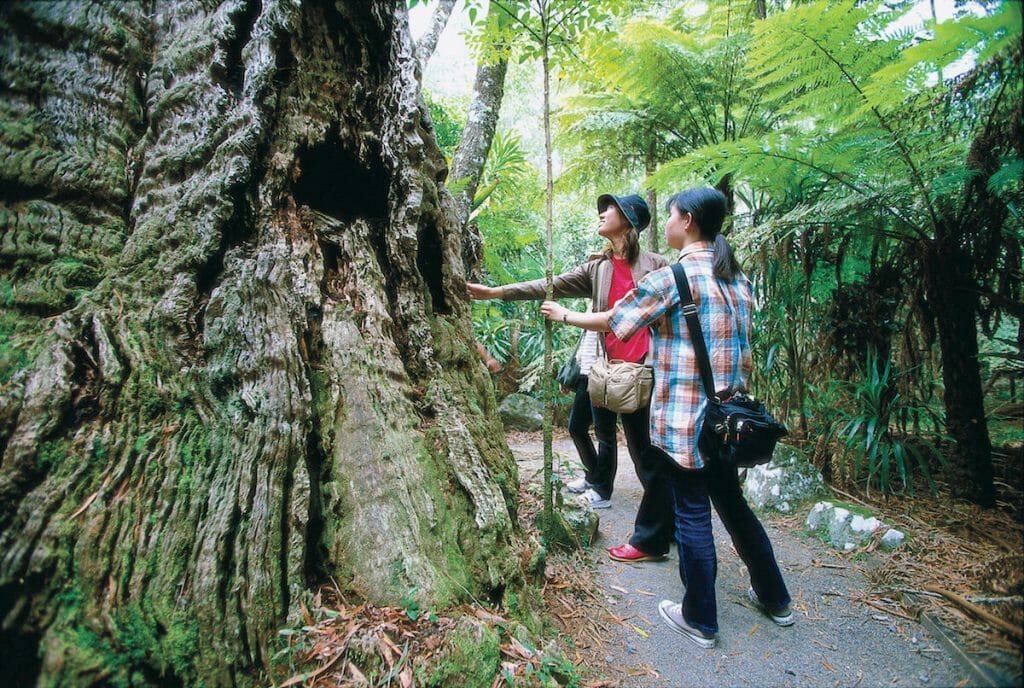 tourists look at old tree in Springbrook National Park