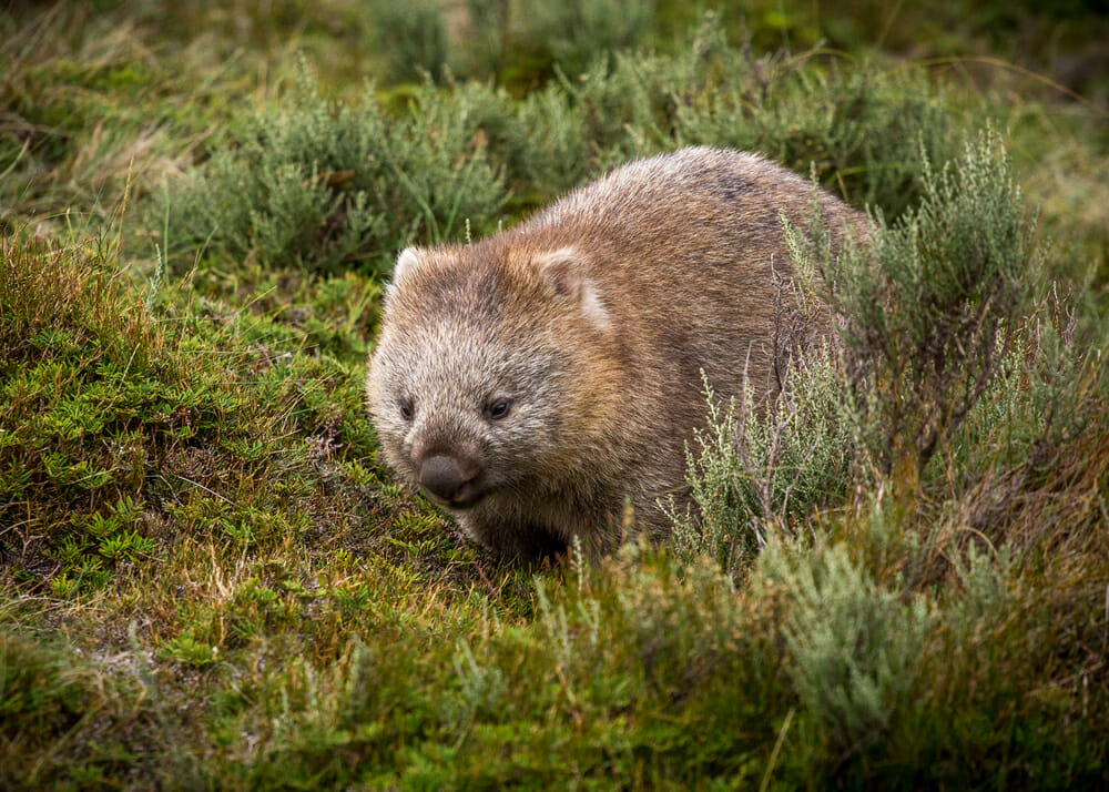 A bare nosed wombat