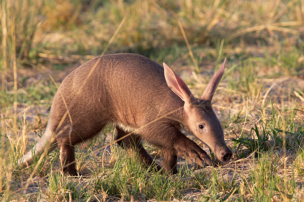 Q: What is a group of aardvarks called?