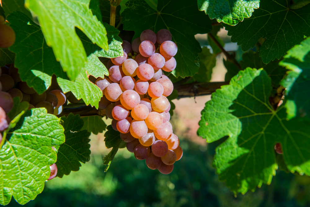 Traminer grapes orange wineries