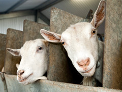 2-goats-in-miliking-shed2.jpg