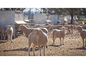 Livestock Sheep | Livestock | | AgTrader, Australia