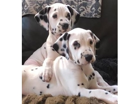 DALMATION PUPPIES for sale | Livestock | Other | | Good
