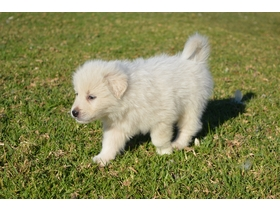 Quality working dogs, pet dogs and puppies for sale in NSW