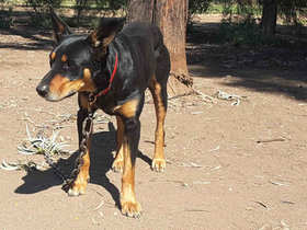 Quality Working Dogs Pet Dogs And Puppies For Sale In Nsw Qld And Across Australia Agtrader Australia