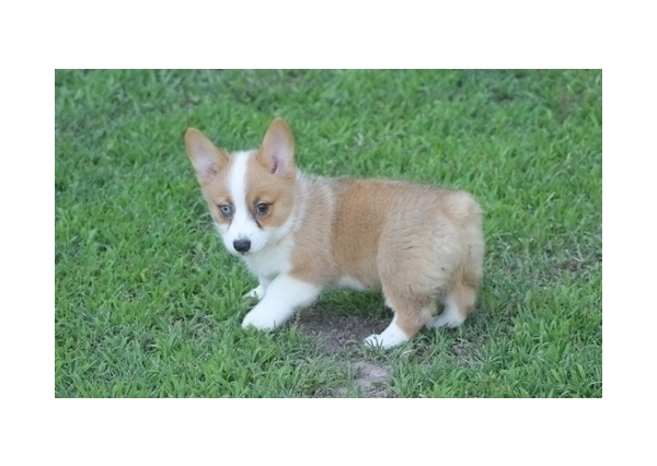 Healthy two pembroke welsh corgi puppies for sale for sale