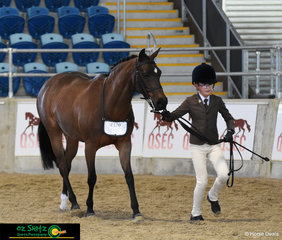 Grace Lutheran student Ben Randall trots out Smithfields Magic Dancer in the Secondary Show Hunter at the QLD Interschool State Championhips.