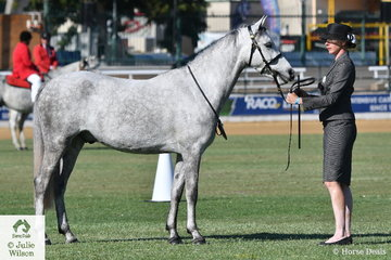 The Greybery Pony Stud's, 'Wyann Galliano' (Bamborough Benvolio/W.Sweet Coffee) took fourth place in the class for Welsh Pony Gelding Any Age.