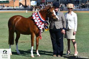 Amy Thomas led Jill and Geoff Arthy's, 'Loralla Songbird' (Imperial Pictureshow Man/Euston Lilting) to claim the Mare Championship ans go on to be declared Supreme Champion Led Welsh Pony. Pictured here with judge Helen Heagney.