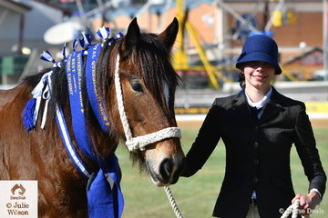 Jessika Gordon is pictured with her winning Shire Filly Exhibit and Best Presented Shire, 'Darkmoore Celine' (Wyee Archer/Bucca Valley Dainty Lass).