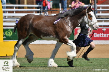 The Stewart Koster family's 'Dunesk Flash Beauty' (Box Valley Matthew/Dunesk Flash Princess), was declared Champion Clydesdale Mare,