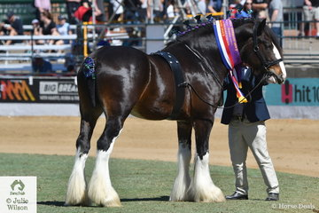 Bradley Wood claimed the Stallion Championship and Supreme Led Clydesdale awards with his splendid, 'Duncan Valley Raghnall' (D.V. Emanual/Murroka Rosemary).