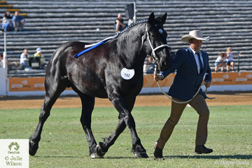 Clint Kenny's, 'Cobigan Pandora' (C.Orlando/C.Abigail) won the class for Percheron Mare/Filly Any Age.