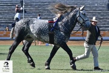 Gary and Shirley Appleby's handsome, 'Rosehill Park Captain Star Belle' (R. Billie Belle?Carbery Estate Ida) won the class for Percheron Stallion/Colt.