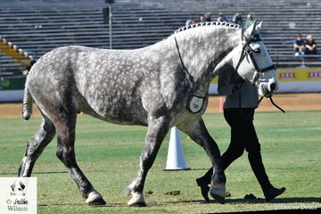 Kirsty McKenna led Macy Morris', 'Cobigan Quartz' (C.Commander/C.Krystal) to win the Percheron Gelding Any Age class and go on to be declared Best Percheron Exhibit.