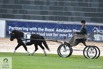 A bit smaller than he is used to, but a winning drive none the less. Richard Bensley drove the Jones and Bensley nomination, 'Cranellie Victoria' to win the class for Harness Shetland Mare N/E 10.2hh. They went on to claim the Harness Shetland Reserve Championship.