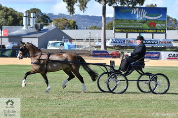 Well know and successful Victorian pony and harness exhibitor, Stuart Ryan drove his , 'Stillbrook Tiger Lily' to take second place in the strong class for Non Hackney Harness Pony 13-14hh.