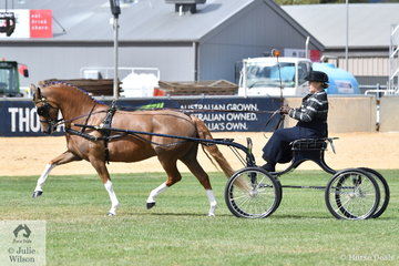 The Andrew James and Corinne Collins nomination, 'Clemson Billboard' won the class for Non Hackney Harness Pony 13-14hh. .