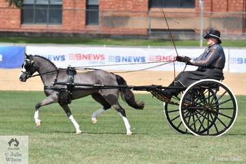 Well known and super successful harness exhibitor, Elsa Avery is pictured at the reins of her, 'Oberon Park Chicaro', winner of the class for Non Hackney Pony N/E 11hh.
