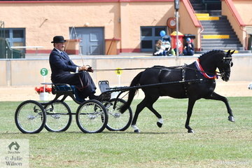 Andrew James drove his own and Corinne Collins' successful, 'Rose-Air Manikato' to win the class for Non Hackney Harness Pony 12-13hh and go on to take out the Non Hackney Pony Championship.