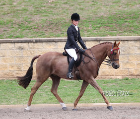 """""""Kallistos Maximus"""" placed 6th in The Diamond Deluxe Horsewear Open Small Galloway event, exhibited by Sandra Mills."""