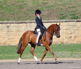 """Bevanlee Encore"" exhibited by Matilda Phillips work out in the Medium Open Pony 12-13hh Championship."