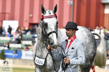 Ty Zoontjens led Michelle Labahn's beautiful, 'Rolex II' to take second place in the Gent's section of the Racing Victoria Led Thoroughbred Fashions at the Show. To be eligible the horse had to have raced.