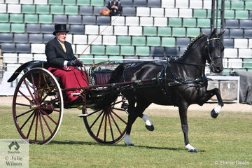 Successful pony breeder and harness man, Stuart Ryan drove his imported Hackney mare, 'Berkeley Rhodes Princess' (UK) in a beautiful Sydney Brass Sulky with a shell back, to take second place in the class for Jinker/Buggy Turnout Over 14hh.