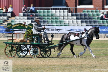 Desiree Sewart drove , 'Gracedale Belladier' to win the class for Miscellaneous Turnout Single Horse.