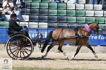 Stuart Ryan drove his, 'Stillbrook Tiger Lily' to win the class for Jinker/Buggy Turnout 10.2-14hh and claim the Harness Turnout 14hh and Under Reserve Championship.