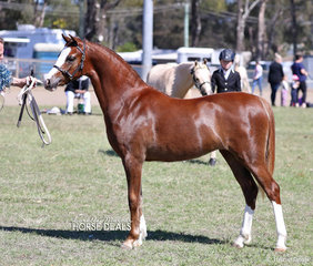 """""""Keyi Condoleezza"""" was shown by Daniel Harvey to win Champion Led Welsh pony for owners Janet & Chris Harvey."""