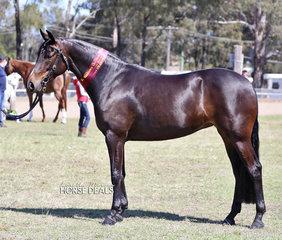 "Adam Wellington's ""Glen Lee Rivoli Try Tech"" was Champion Led Stock Horse Exhibit."