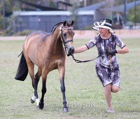 """""""Gemsfield Twice Shy"""" won the Led Riding Pony Mare 4 years & over not exceeding 13hh class, exhibited by Katie Towns."""
