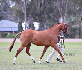 "Melinda DeRooy's ""Saradale Secret Treasure"" won the Led Riding Pony Mare 4 years & over, over 13hh not exceeding 14.2hh."