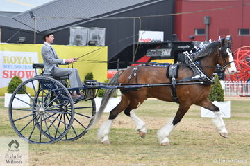 The Murroka and Carbery Estate nomination, 'Crackerjack' was second in the class for Medium Show Harness Horse Driven in a Non Traditional Vehicle and went on to be declared Reserve Champion Show Harness Horse.