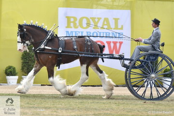 The Murroka Clydesdales', ''Murroka Galaxy' took second place in the class for Heavy Show Harness Horse Driven in a Non Traditional Vehicle.