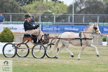 Kelsea Bullivant drove her own and Neil Shipard's, 'Tarragon Park Victory' to fifth place in the class for Pony Driven in Single Harness 11-12hh.