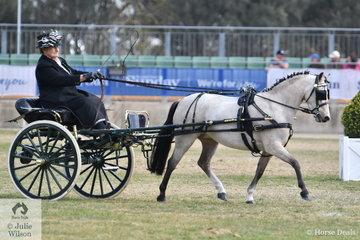 Long time Melbourne Royal exhibitor, Maureen Pengelly drove her own and Kerry Buckleigh's, 'Golden Park Lollipop' to win the class for Pony Driven in Single Harness 111hh and Under.