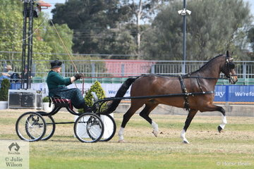 Elsa Avery drove the Avery Family's, 'Makari Blue Danube' to take second place in the class for  Lady's Hackney or Part Bred Hackney Driven in Single Harness.