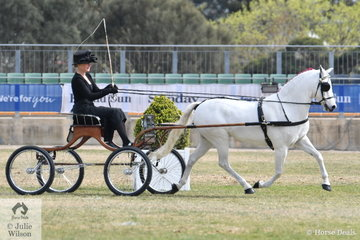 Neil Shipard and Kelsea Bullivant's successful, 'Lakevale Zipper' took second place in the class for Pony Driven in Single Harness 12-13hh and went on to be declared Reserve Champion Harness Pony 12-14hh.
